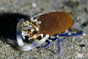 Spotted bumblebee shrimp by Pietro Cremone 